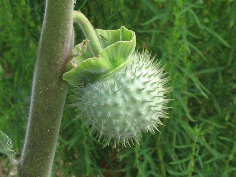 File:Datura fruit.jpg