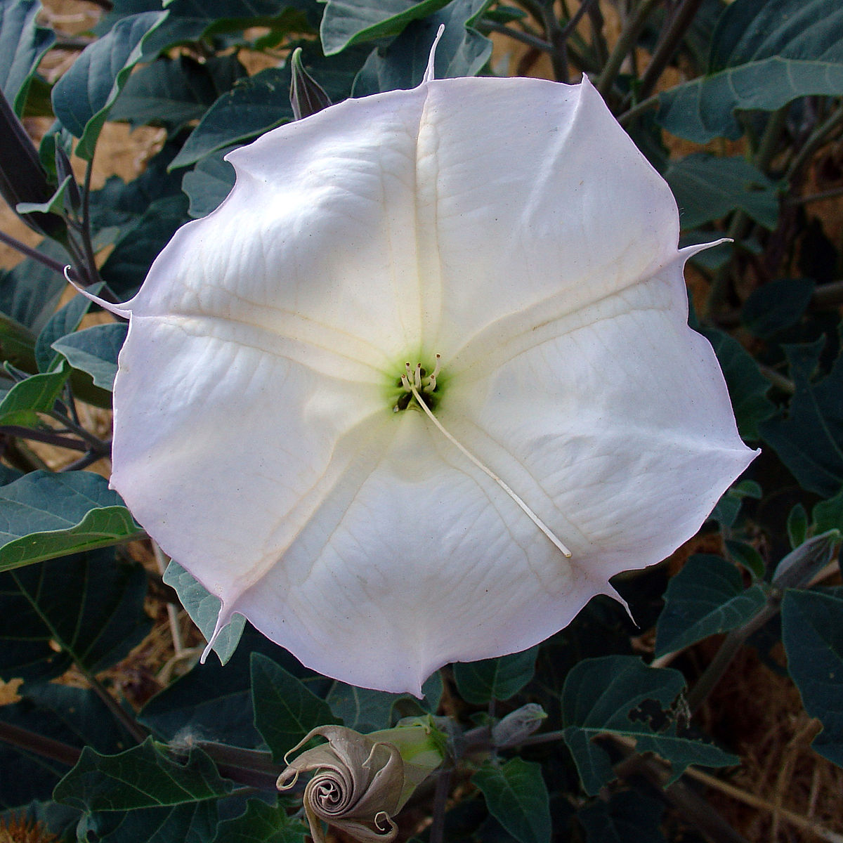 Datura wrightii wikipedia mightylinksfo