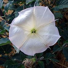 Datura wrightii flower2.jpg