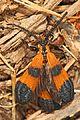 Day 245 - Net-winged Beetle, Spotsylvania, Virginia.jpg