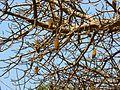 Dead Rat Tree (412787846).jpg