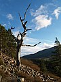 Dead tree, near Mar Lodge - geograph.org.uk - 285861.jpg