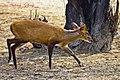 Deer (6904595870).jpg