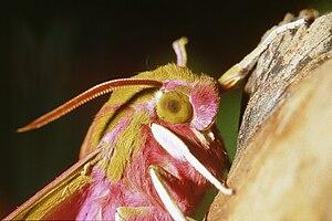 Close-up Deilephila porcellus