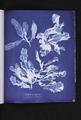 Delesseria sanguinea (NYPL b11861683-419641).tiff