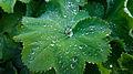 Der Frauenmantel, lat. Alchemilla, Alchemilla vulgaris 01.jpg