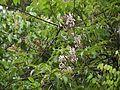 Derris canarensis (5656925993).jpg