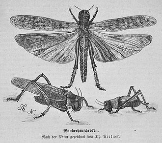 Migratory locust - Adult female (top), adult male (bottom left), fifth instar nymph (bottom right)