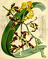 Dimorphorchis lowii (Renanthera lowii) - Curtis' 90 (Ser. 3 no. 20) pl. 5475 (1864).jpg