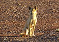 Dingo (Canis lupus dingo) (24171372763).jpg