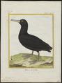 Diomedea brachyura - 1700-1880 - Print - Iconographia Zoologica - Special Collections University of Amsterdam - UBA01 IZ17900150.tif