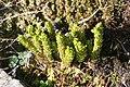 Diphasiastrum alpinum, Servoz - img 29819.jpg