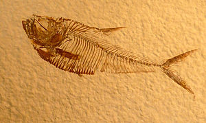 Green River Formation - Diplomystus dentatus Prepared by Fossil Shack from the Green River Formation Split Fish Layer