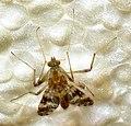 Diptera (2709392536).jpg