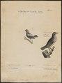 Dolichonyx oryzivora - 1700-1880 - Print - Iconographia Zoologica - Special Collections University of Amsterdam - UBA01 IZ15800289.tif