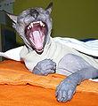 фото донской сфинкса. короткошерстные кошки.  Породы кошек. кошки сфинксы.
