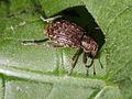 Donus sp. (Curculionidae) from Slovak Paradise (7569310982).jpg