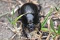 Dor beetle (Geotrupes stercorarius).jpg