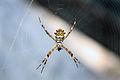 Dorfgrun fotografie gonzo spider eating 027.jpg