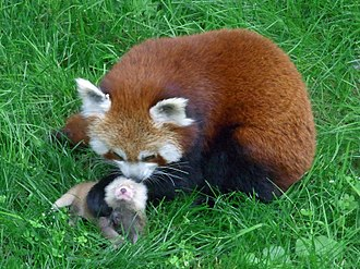 Red panda - A red panda tending its cub