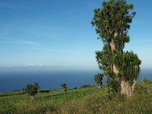 Dracaena reflexa auf Réunion