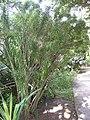 Dracaena reflexa - Jardin d'Éden 2.jpg