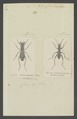 Dromica - Print - Iconographia Zoologica - Special Collections University of Amsterdam - UBAINV0274 009 02 0084.tif