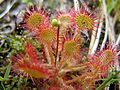 Drosera rotundifolia Common Sundew, Round-leaved Sundew) primary 1 NH 20100718 Beth Zimmer Round Leafed Sundew 02.jpg
