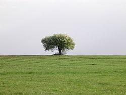 Drzewo Mężenin.JPG