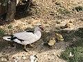 DuckWithchick003.jpg