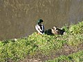 Ducks - geograph.org.uk - 154054.jpg