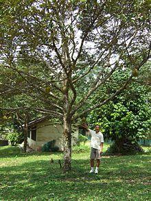 Durian - Wikipedia