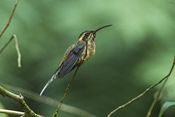 Dusky-throated Hermit - Intervales NP - Brazil S4E9692 (12814056545).jpg