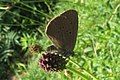 Dusky large blue (NH) (10927862536).jpg