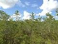 Dwarf Cypress - panoramio (2).jpg