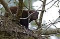 Dwarf Mongoose (Helogale parvula) (12715599323).jpg