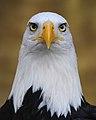 Eagle Haliaeetus leucocephalus Binocular.jpg