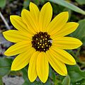 East Coast dune sunflower (Helianthus debilis) (6910212350).jpg