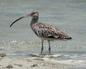 Far Eastern curlew - Inskip Point, SE Queensland, Australia