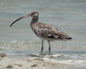 Great Sandy Strait - Great Sandy Strait is an important site for eastern curlews
