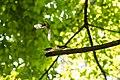 Eastern wood-pewee (37116949892).jpg
