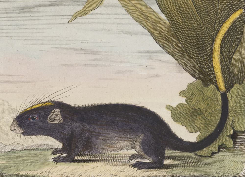 The average litter size of a White-faced spiny tree-rat is 1
