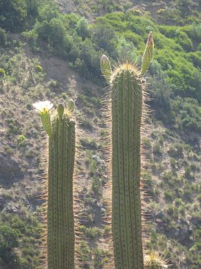 Description de l'image Echinopsis chiloensis 5.jpg.