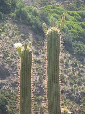 Echinopsis chiloensis 5.jpg