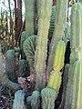 Echinopsis pachanoi (7996938483).jpg