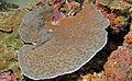 Edgehog Coral (Echinopora sp.) (8482446884).jpg