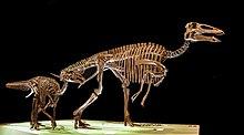 Authentic Edmontosaurus regalis Dinosaur Tooth fossils Cretaceous Teeth