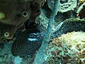 Eel Spotted Moray mouth open (7342802226).jpg