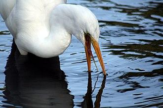 Intermediate egret - Image: Egret's tongue