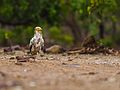 Egyptian Vulture walk.jpg